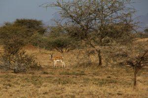 Soemmering's Gazelle